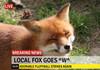 Local fox strikes again